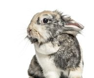 Close-up of a rabbit, isolated. On white stock photos