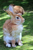 Close Up of a Rabbit Royalty Free Stock Images
