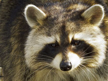 Close up of a Raccoon. Head shot of a Raccoon in a caged environment under rehabilitation Royalty Free Stock Image