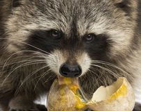 Close-up of a Racoon facing, Procyon Iotor, eating an egg Royalty Free Stock Images