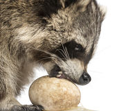 Close-up of a Racoon, Procyon Iotor, eating an egg, isolate Stock Photos