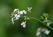 Close up of radish flower Stock Images