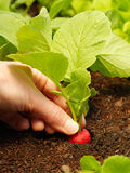 Close up of radish. Close up of hand harvesting a red radish Royalty Free Stock Image