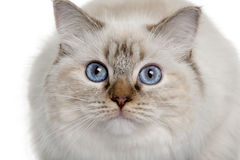 Close up of a Ragdoll (10 months old) Stock Images