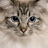 Close up of a Ragdoll (2 years old) Royalty Free Stock Photos