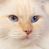 Close-up of a ragdoll. Close-up of a cream point ragdoll cat Stock Photography