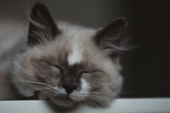 Close-up of ragdoll cat sleeping stock photos