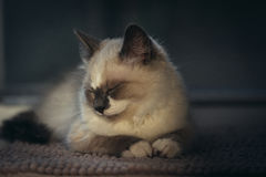 Close-up of ragdoll cat sleeping royalty free stock photography