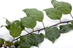 Close up of Rain-Covered Bougainvillea Leaves Royalty Free Stock Photos