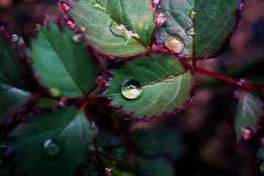 Close up Rain drop on the leave of roses on a rainy day Stock Photo
