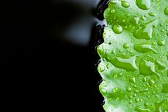 Close up of rain drop on lotus leaf Stock Photos