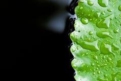Close up of rain drop on lotus leaf Stock Photos