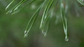 Close up of rain drops on green pine needles with fresh green copyspace. Abstract background from conifer evergreen pine. Tree branches with dew water drops stock video
