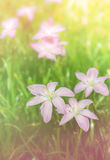 Close up of Rain Lily on sweet tone Stock Image