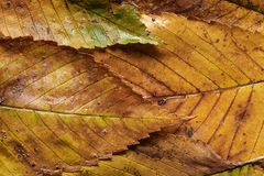 Close-up rain wet autumn elm leaf Stock Photos