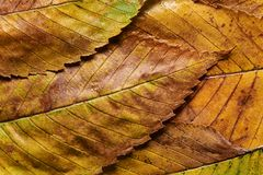 Close-up rain wet autumn elm leaves Stock Photography