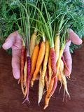 Close up of rainbow carrots in man`s hands. Over cutting board stock images