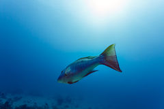 Close-up of a rainbow colored fish swimming in tropical waters Stock Images