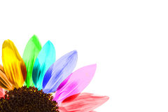 Close up of a rainbow colored sunflower Stock Photography