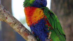 Close up of Rainbow Lorikeet stock video footage