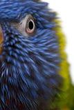 Close-up of Rainbow Lorikeet, Trichoglossus haematodus, 3 years old royalty free stock photos