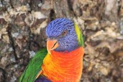 Close up of Rainbow Lorikeet Royalty Free Stock Photos