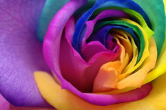 Close up of rainbow rose heart Royalty Free Stock Photo
