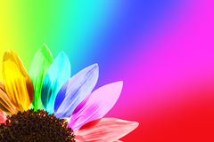 Close up of a rainbow sunflower Stock Images