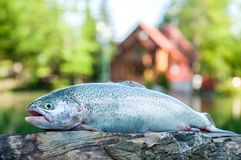 Close up of rainbow trout. Fresh raw trout lying on flat stone surface on camp lodging house and lake background stock photography