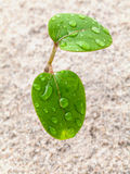 Close up raindrop on young plant growing in spring time. The beginnings from soil Stock Photography