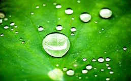 Close up of raindrops on a lotus leaf. macro view Stock Photos