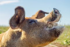 Close-up of the raised head of a busy sow feeding in a meadow of stock photography