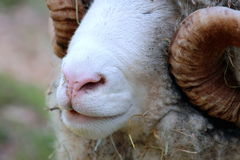 Close up of Ram Face. Close up of a Dorset Ram in New Zealand Stock Image