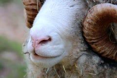 Close up of Ram Face Stock Image