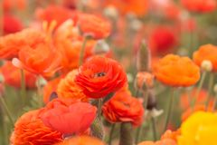 Close up of  ranunculus flowers in a field. Royalty Free Stock Photography