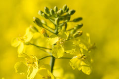 Close up of a Rape field Royalty Free Stock Image