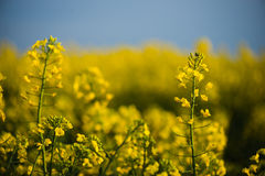 Close up of rapeseed flower. Stock Photography