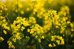 Close up of rapeseed flower. Stock Photo