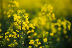 Close up of rapeseed flower. Royalty Free Stock Images