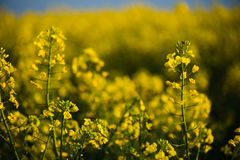 Close up of rapeseed flower. Stock Photos