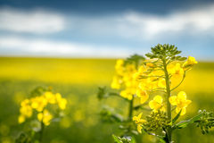 Close up of a rapeseed Royalty Free Stock Photos