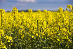 Close-up of rapeseed plan. T with blue sky above Stock Photography