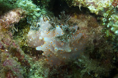 Close-up of rare mating nudibranchs off Padre Burgos, Leyte, Philippines Stock Photography