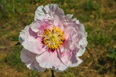 Close up of rare pink paeonia rockii flower in the garden. Italy Stock Photo
