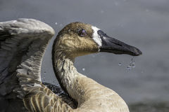 Close up of a rare swan goose Stock Images