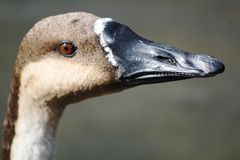 Swan Goose head close up. A close up of the rare Swan Goose spotted at the Wetlands Centre in West Sussex, UK Royalty Free Stock Photos