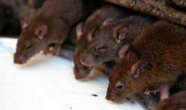 Close up of rats drinking milk Stock Image
