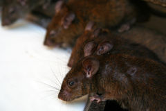 Close up of rats drinking milk Stock Photos