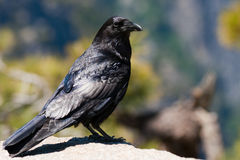 Close-up of a raven Stock Photos