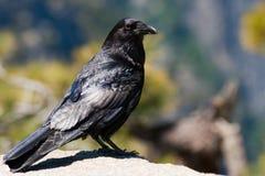 Close-up of a raven Stock Photos
